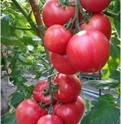 Pink_kler_tomat