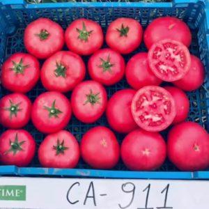 tomat_CA_911_F1