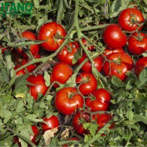 tomat_kibo_f1