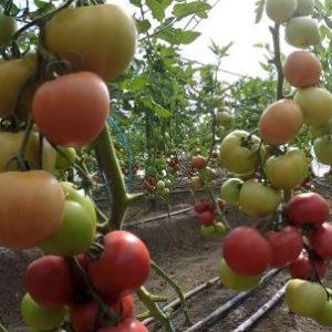 tomat_pink_krim
