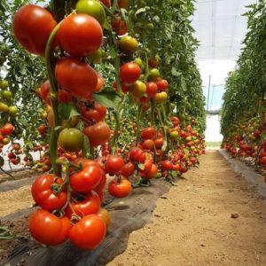 tomat_runner